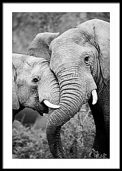 Two Elephants Greeting